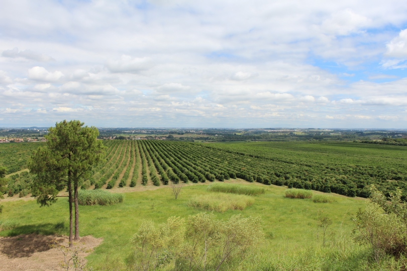 brazilian-coffee-plantations